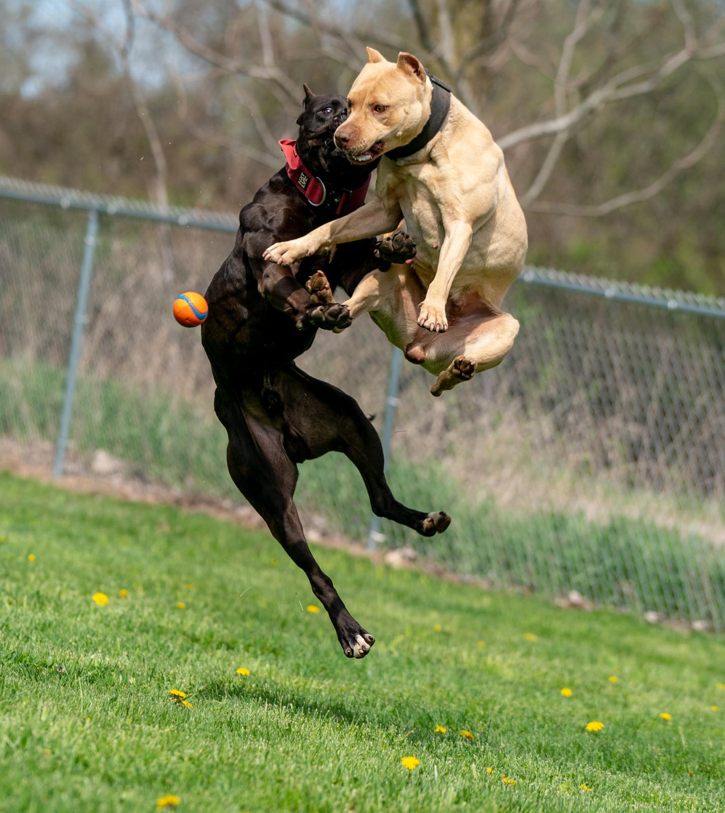 Unleashed Kennels black XL pit bull stud Batman caught mid flight with champagne pit bull Chevette and show off their athleticism as they vie for a ball.