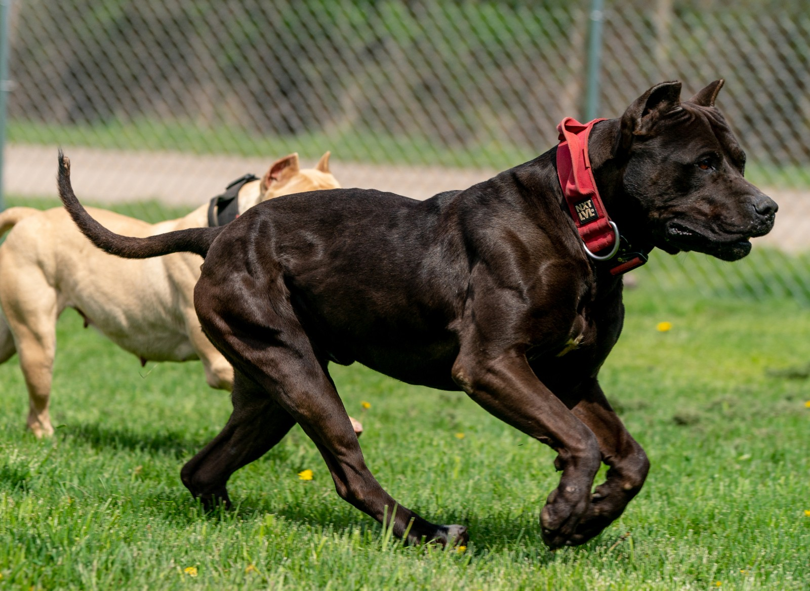 Unleashed Kennelz black XL pit bull shows off his structure in this shot, mid stride alongside champagne female, Chevy.