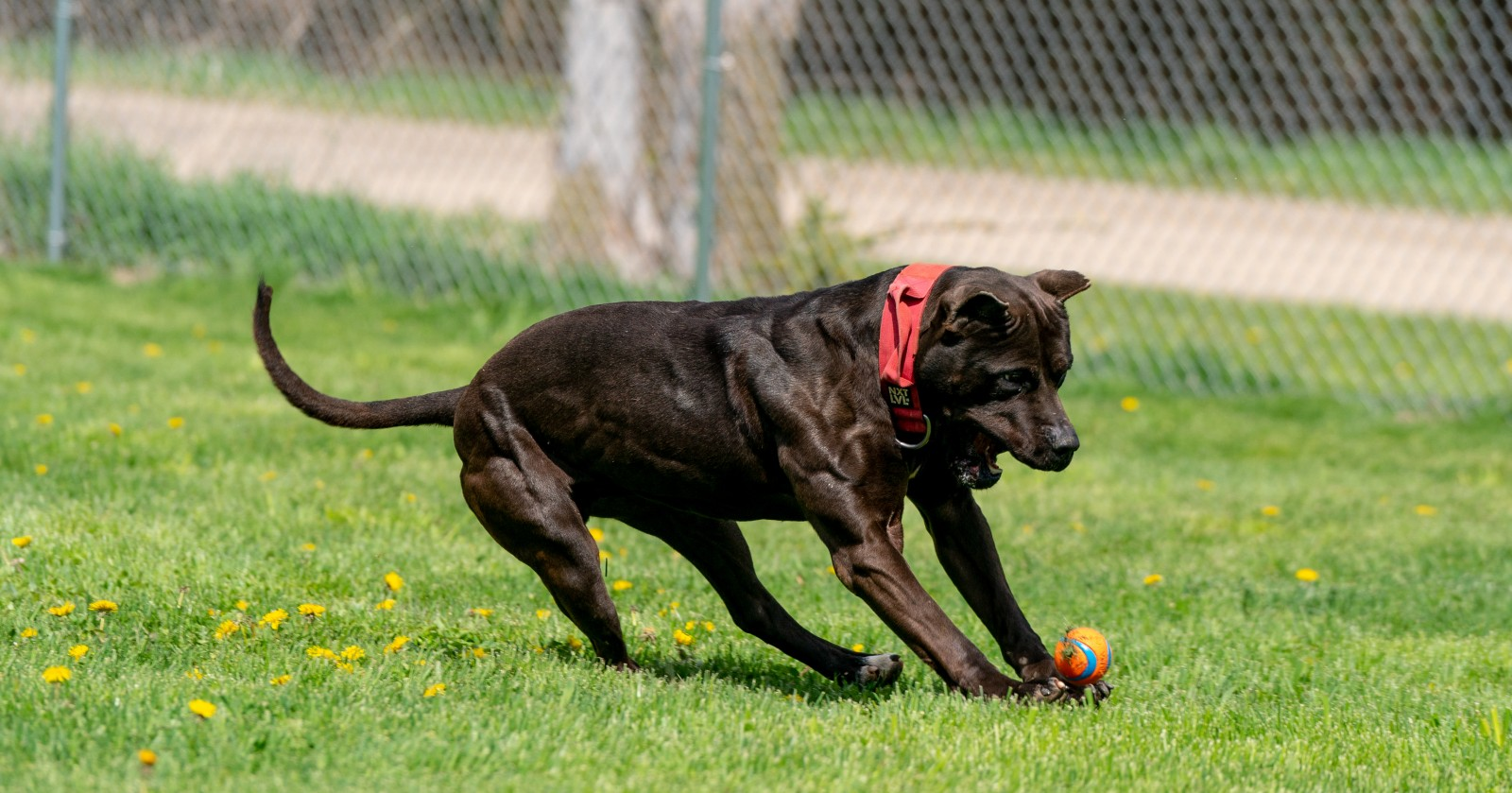 Unleashed Kennels Black XL pit bull Batman skidding to a sudden stop as he runs for a ball, shows off his muscle definition in this flexed pose.