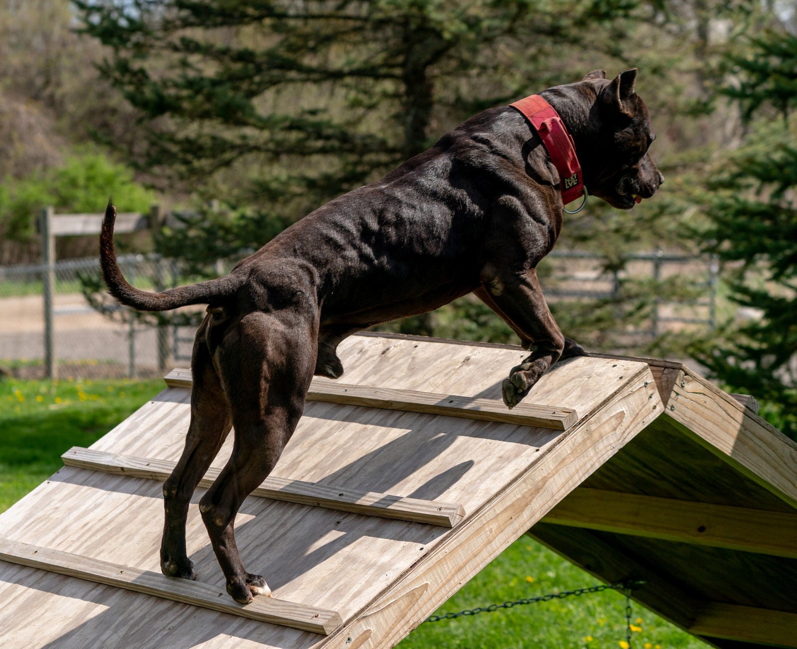 Unleashed Kennelz stud dog black XL pit bull Batman is climbing a wooden ramp as the sun reflects off his chiseled physique.