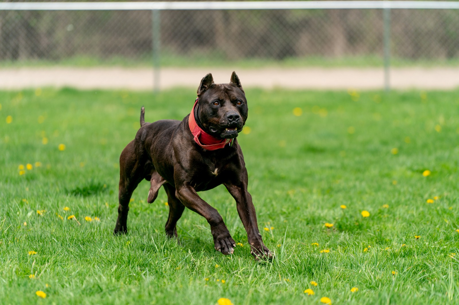 Unleashed Kennelz stud, black XL pit bull Batman runs through a field of green grass and dandelions wearing a red collar.