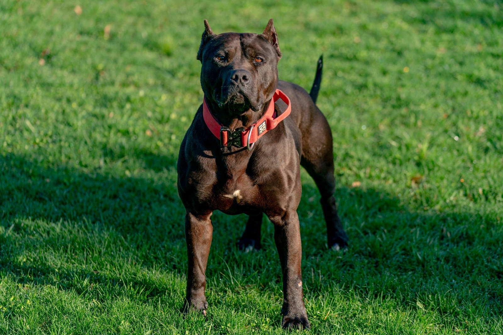 Batman, AKA Bruce Wayne, a muscular beast of a black pit bull wearing a red collar stands, stacked, at attention.