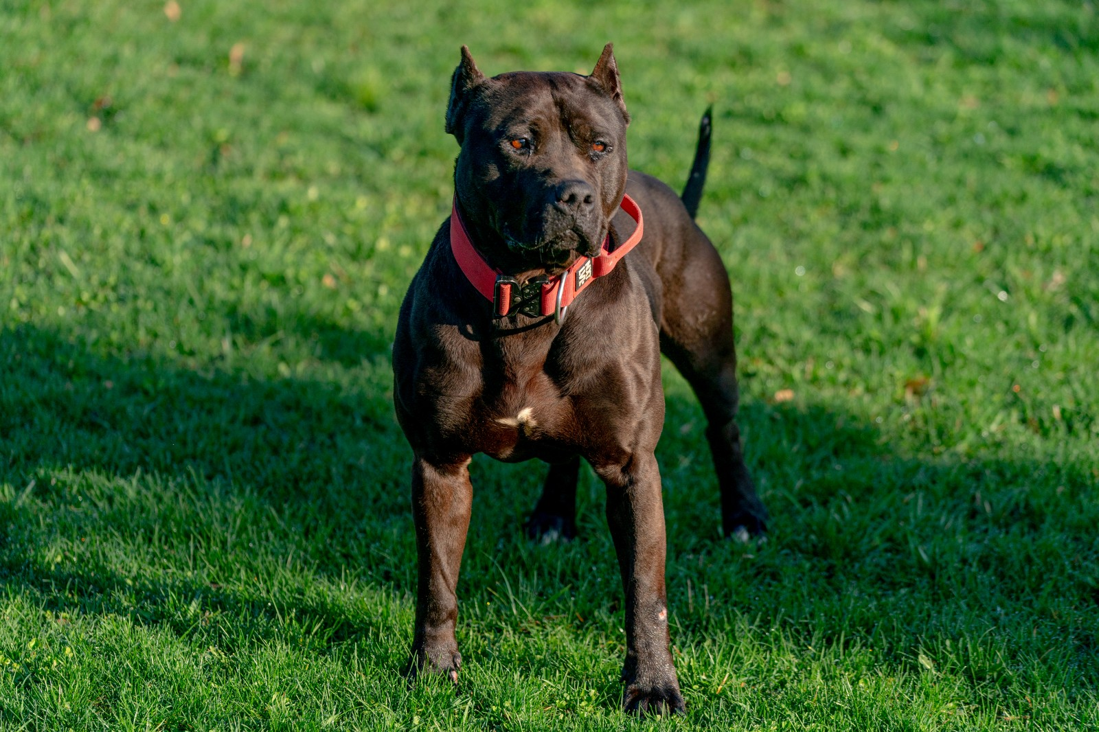 Unleashed Kennelz Black Stud, XL pit bull Batman, stands at attention wearing a red collar.