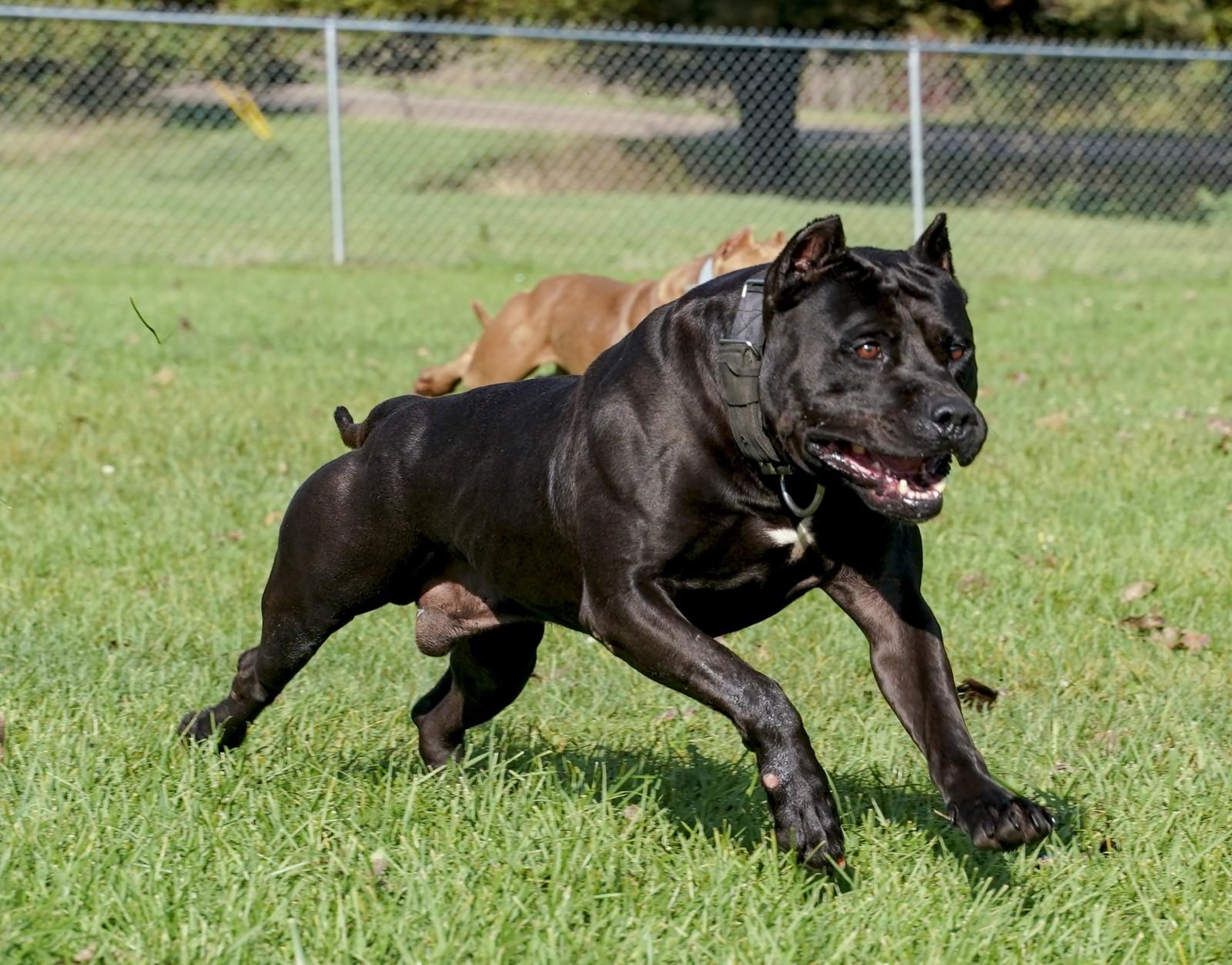 Batman, AKA Bruce Wayne, an XL black male pit bull, looking intense as he runs toward the camera.