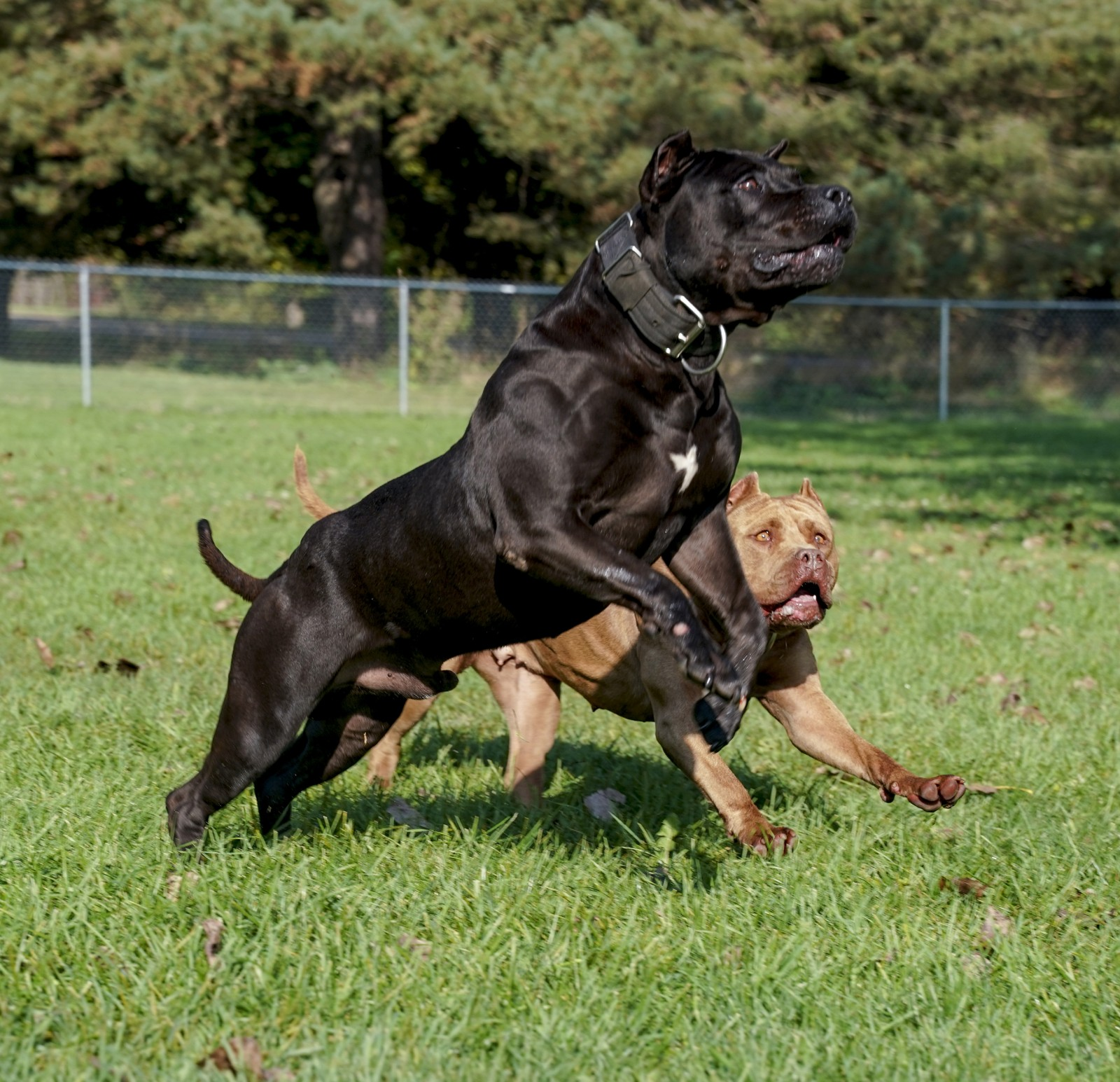 Batman, AKA Bruce Wayne, an athletic, muscular, XL black pit-bull lunges for and object out of site next to Sumatra, a huge red female pit bull.