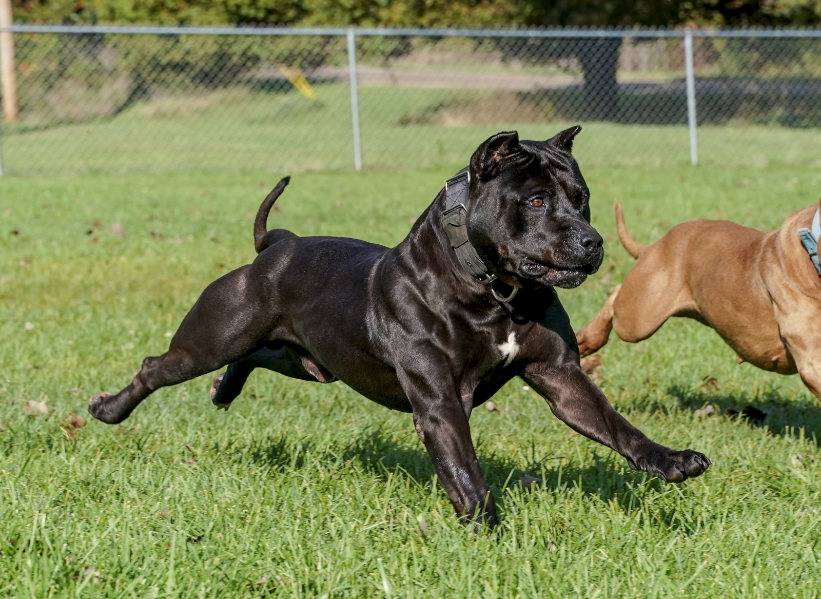 Batman, AKA Bruce Wayne an athletic, muscular Black pit bull strides out next to a partially visible red pit bull counter-part.