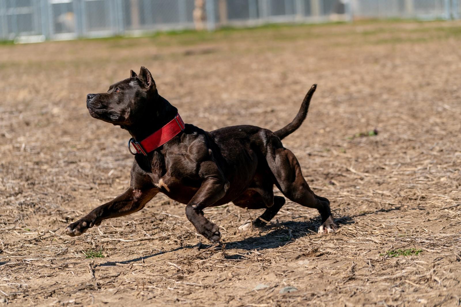 Batman, AKA Bruce Wayne, a muscular beast of a black pit bull wearing a red collar is frozen mid-stride.