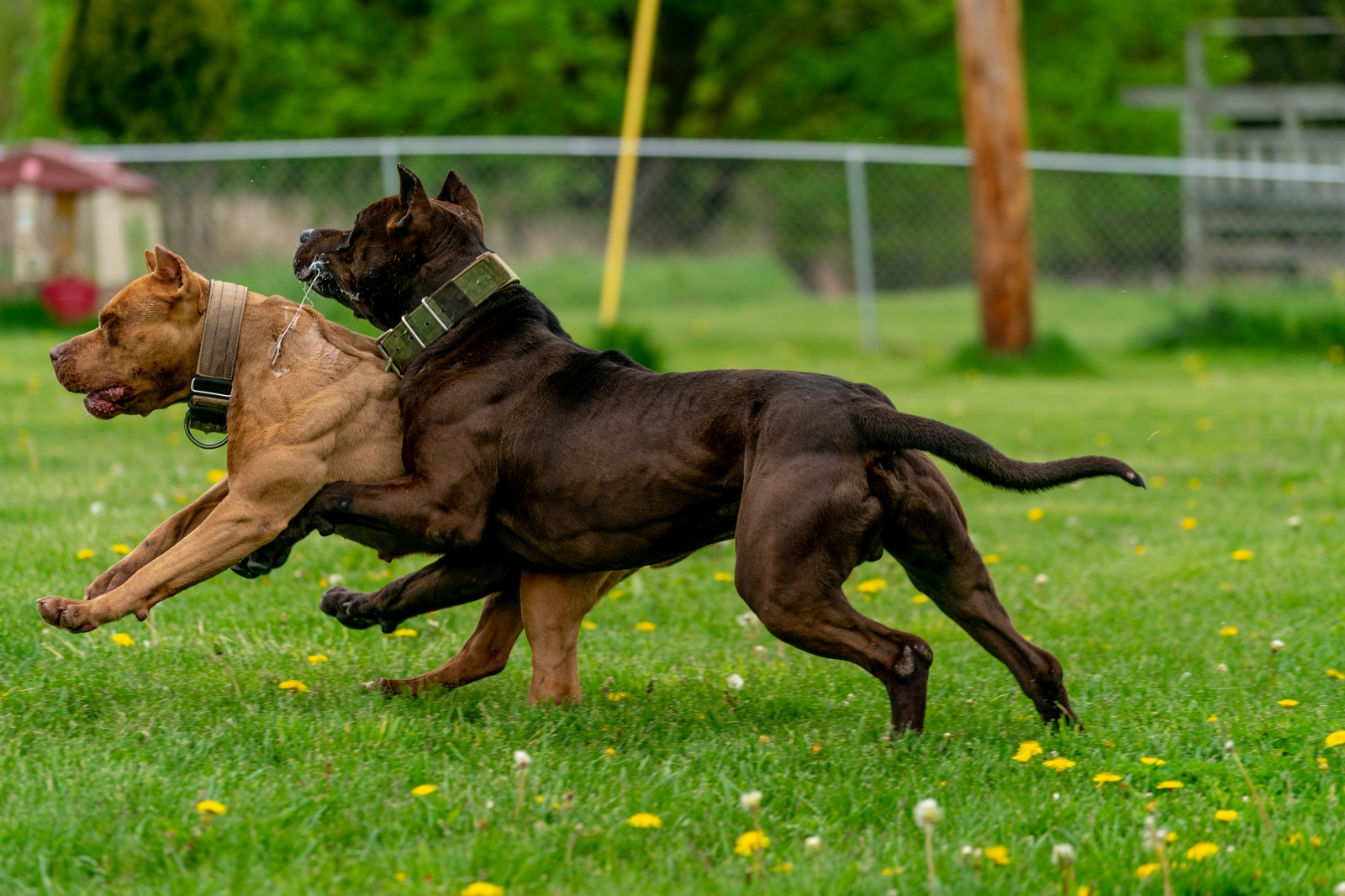 Unleashed Kennelz Hitman, a big black ripped pit bull collides with rush, a red female xl pit bull as muscles flex and saliva sprays in a yard with green grass and yellow dandelions.
