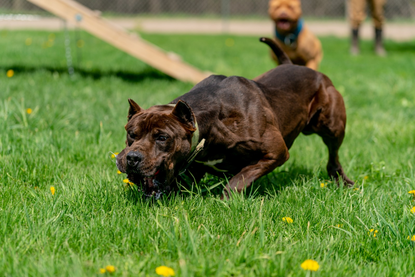 Hitman, a black XL pit bull from Unleashed Kennelz full speed, low to the ground, chases something off camera.