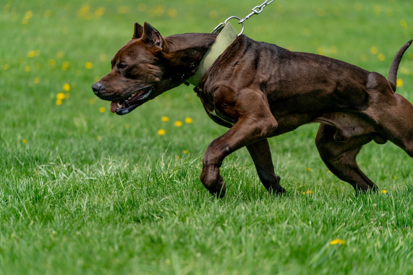 Hitman, a black XL pitbull from Unleashed kennelz lunges, ripped muscles flexed, in a side profile shot with his owner holding him by the green collar and chain link leash.