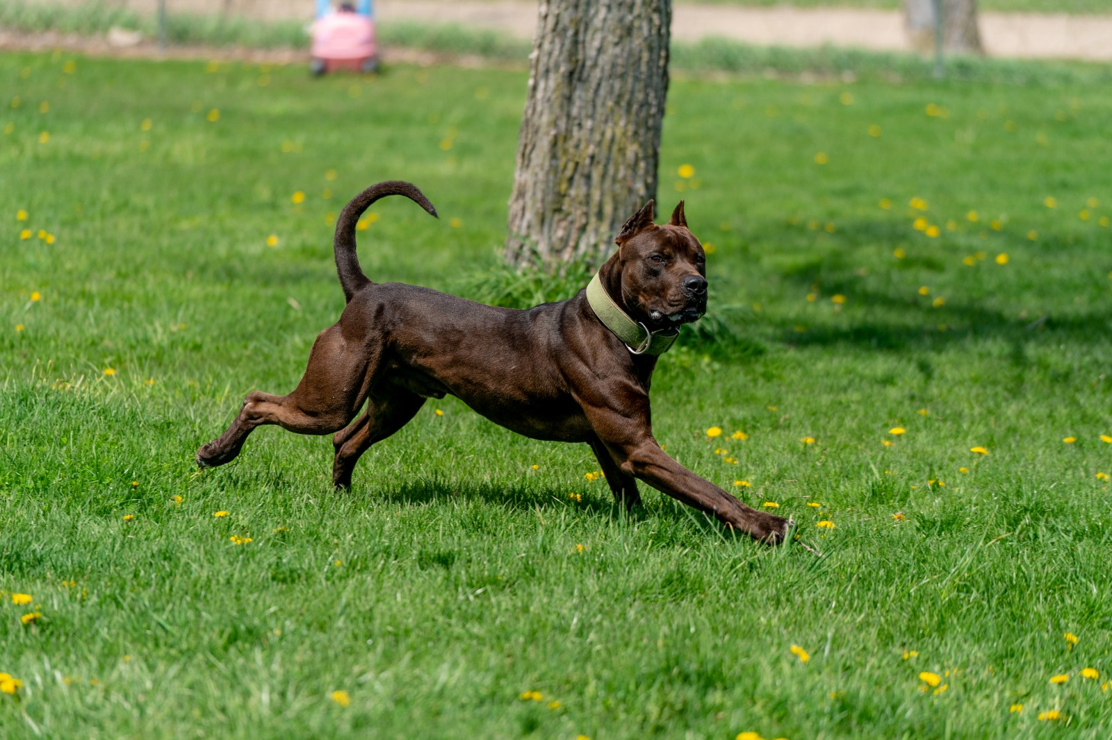 Hitman, a black beauty of an XL pit bull stud is all grace in this shot of him mid stride, face turned toward the camera, tail up, sun glinting off his flexed muscles.