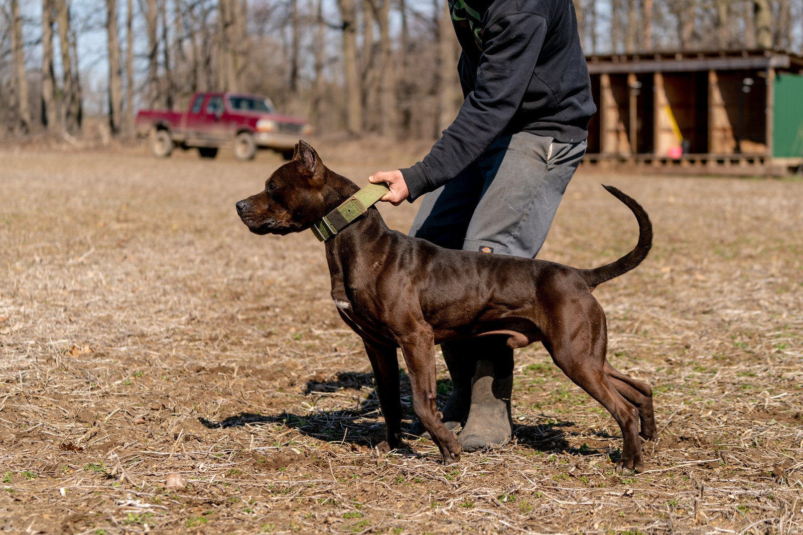 Hitman, a black XL pitbull from Unleashed kennelz lunges, ripped muscles flexed, in a side profile shot with his owner holding him by the green collar.