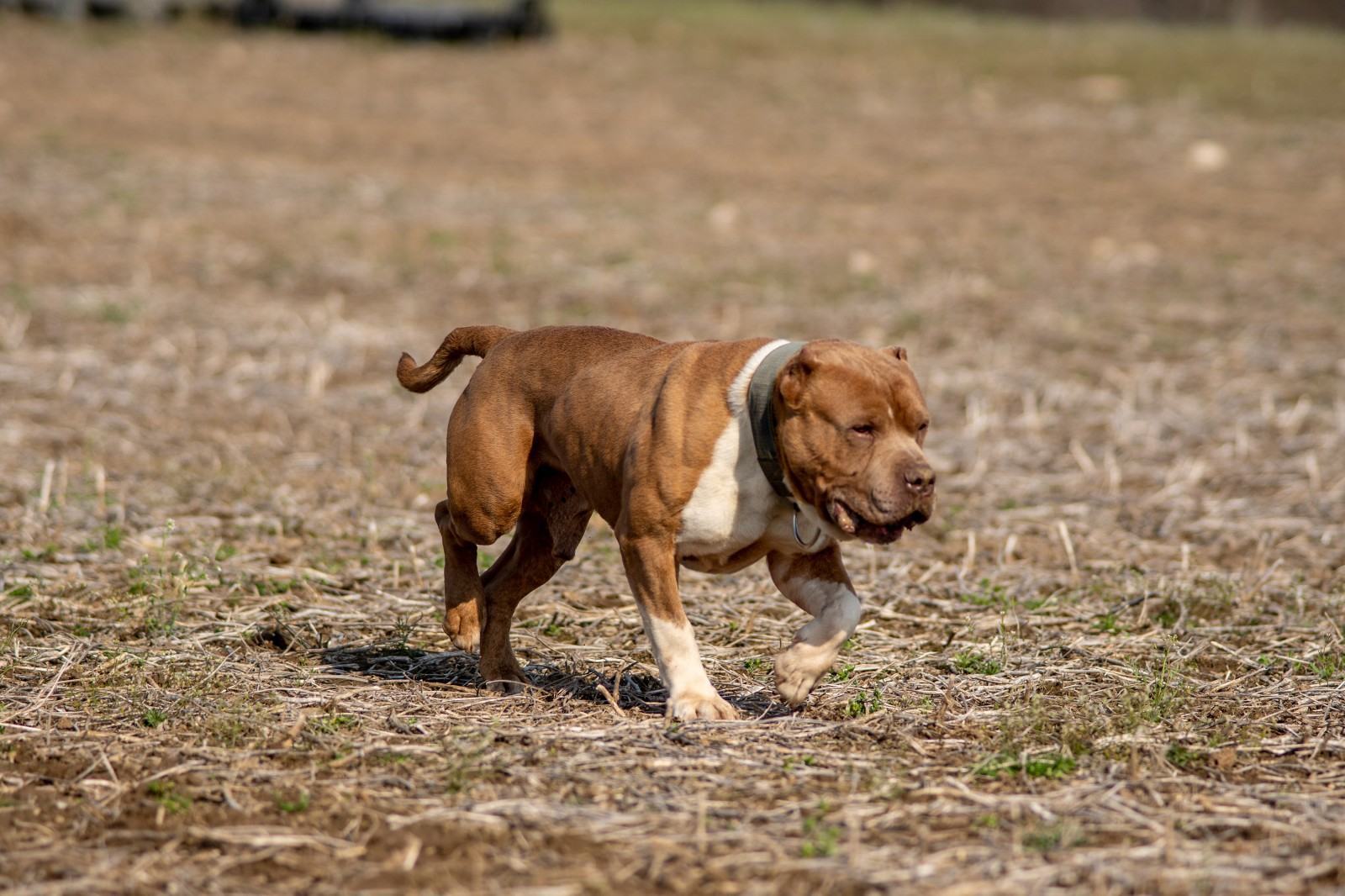 Unleashed Kennelz Taj Mahal, a red and white American Bully shows of his ripped physique as he struts through a field in early spring.