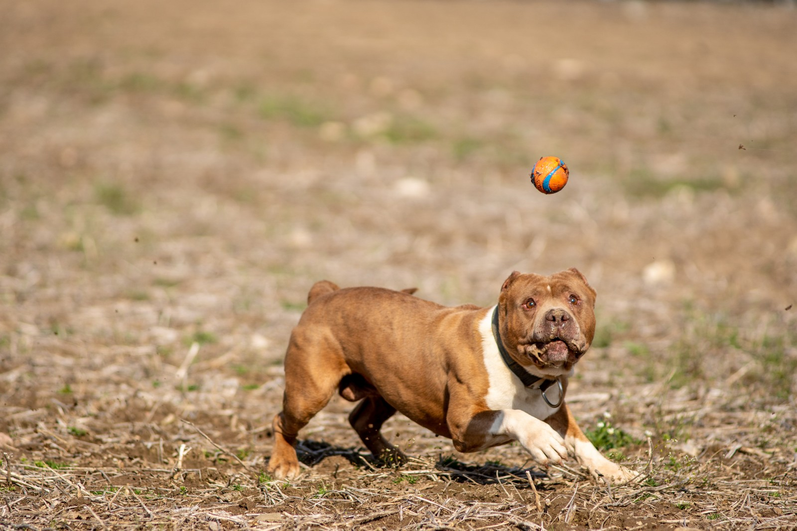 Unleashed Kennelz Taj Mahal, a red xl pit bull with a white chest and front paws is frozen mid stride chasing a ball in a field.