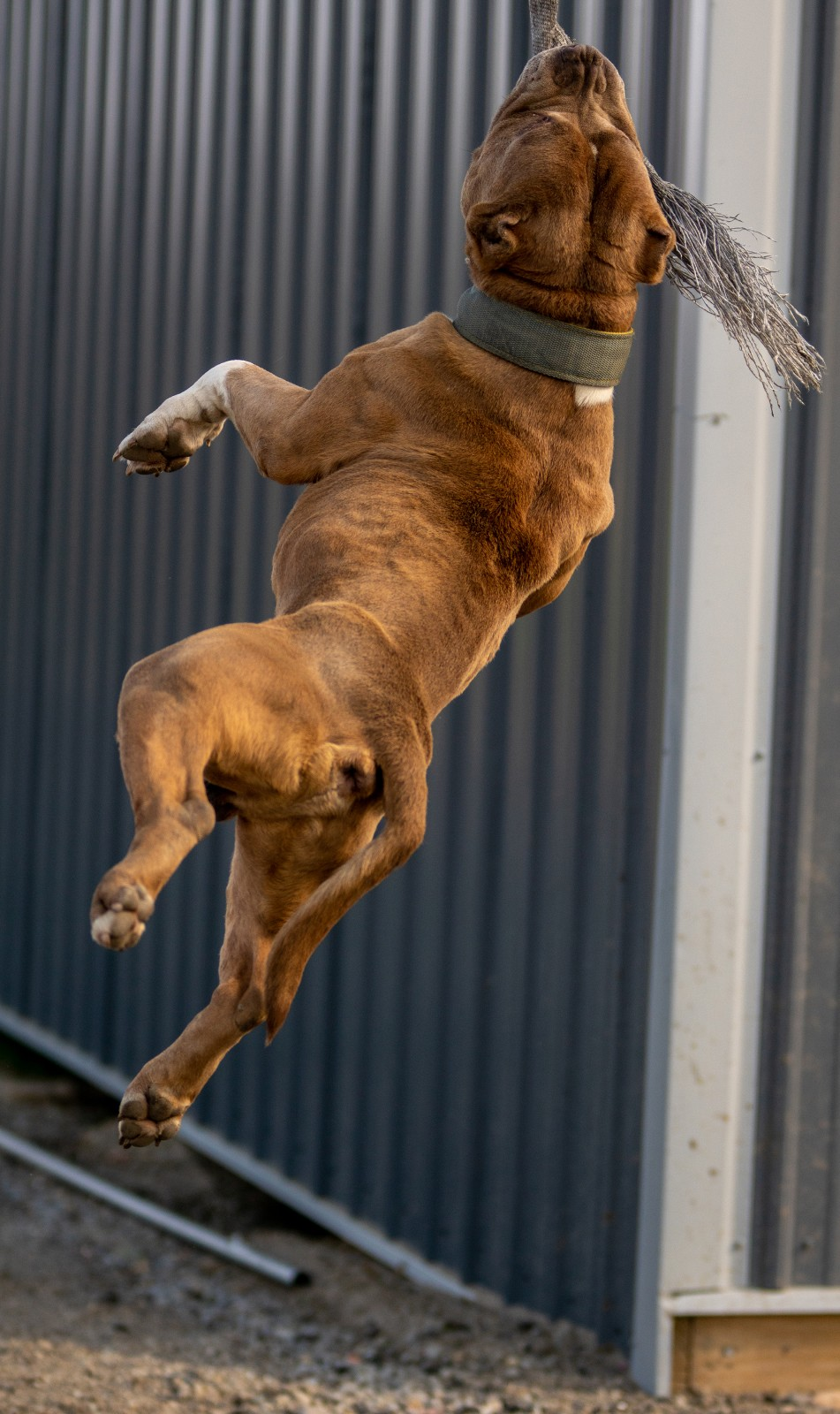 Taj Majal, a large red and white, muscular bully type XL pit bull hangs by his jaw from a spring pole (a tool used by dog trainers/breeders for their dogs to exercise).